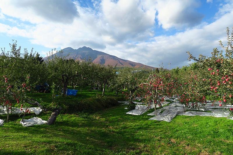岩木のリンゴ畑