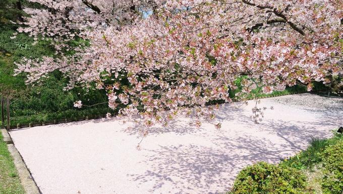 弘前さくら祭り2016の花筏(4月27日撮影)
