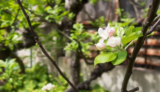 りんご黎明期の「岡本」の花(2018/5/5撮影)