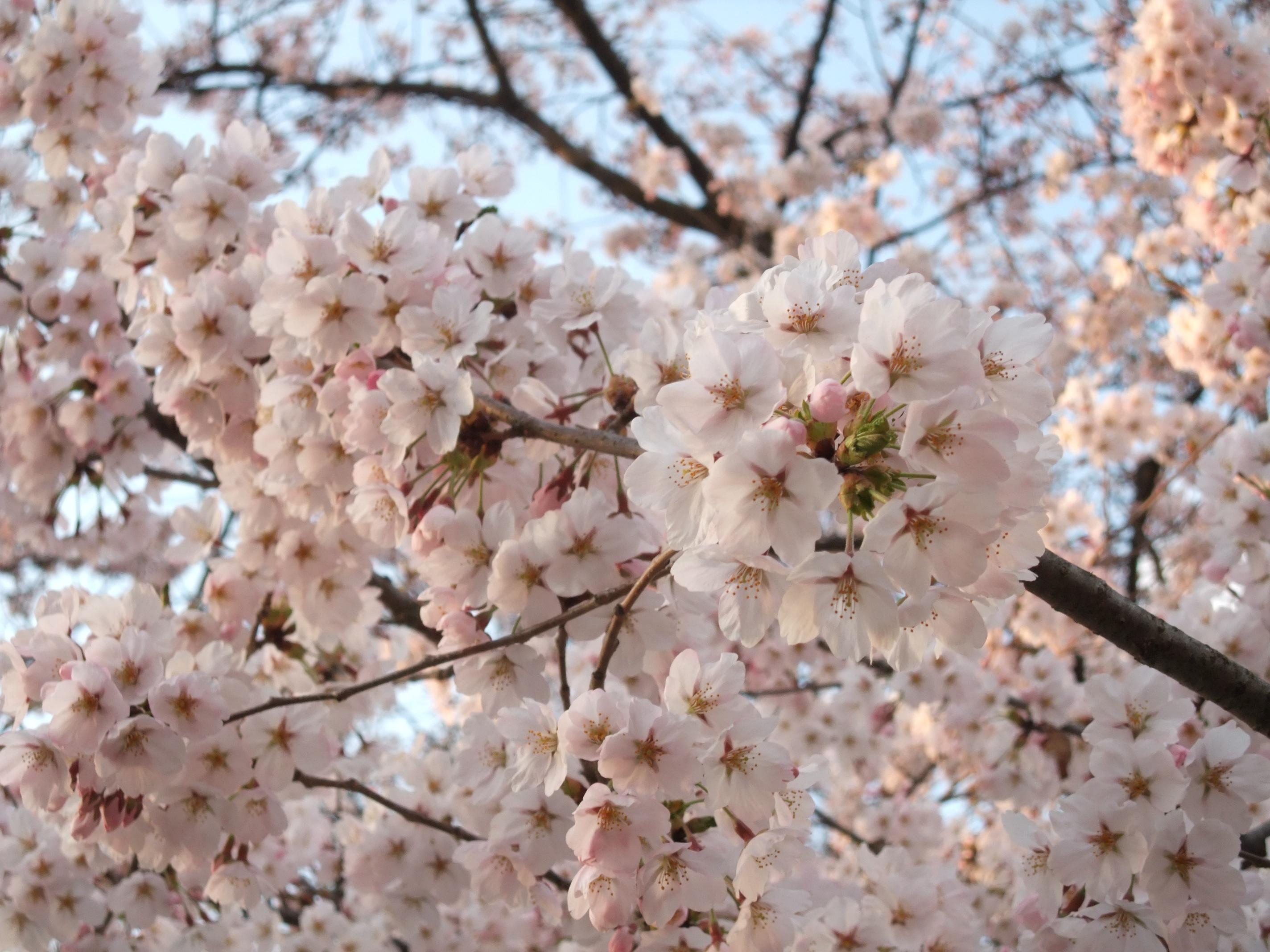 胸肩神社の桜