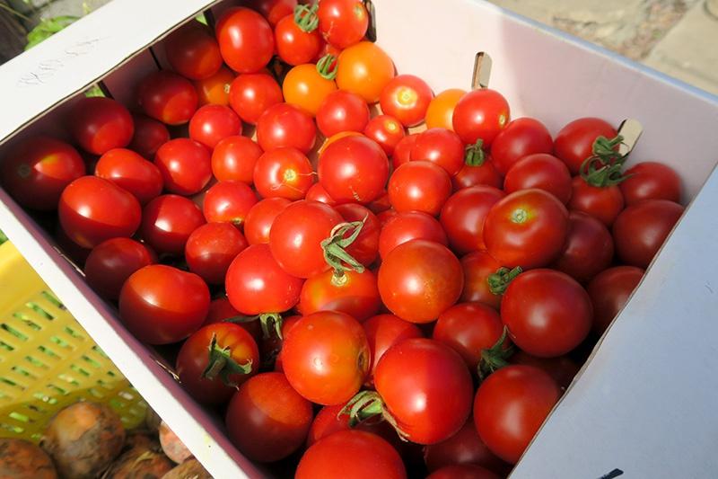 叔父のつくったトマト