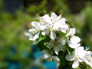 りんごの花(スマホ)