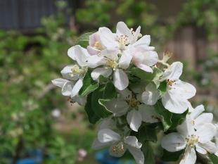 りんごの花(デジカメ)