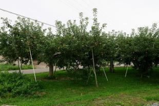 右を見ればリンゴ畑