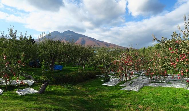 津軽の10月、りんご畑と岩木山