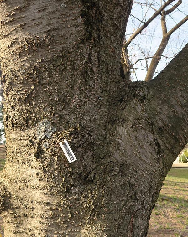 桜の木にNoが付いている