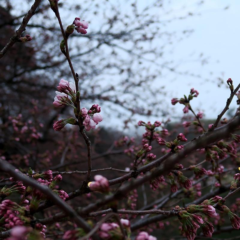 開き始めた桜