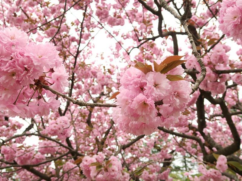 5月3日、八重桜などが花盛り