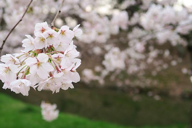 4月21日弘前公園杉の大橋付近にて撮影