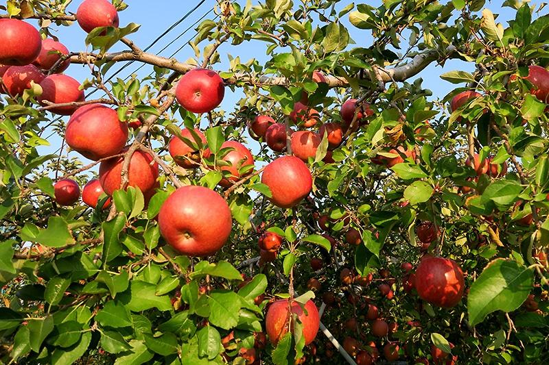 これでもかとなるリンゴ