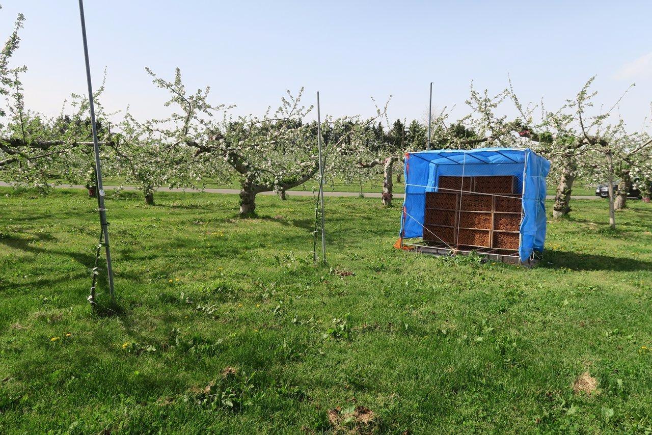 ブルーシートに覆われたマメコバチの巣箱