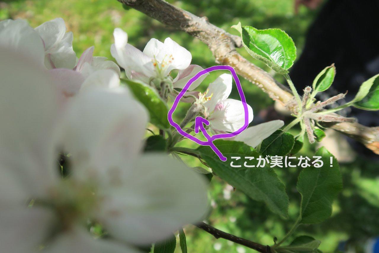 中心花のふくらんだ部分がリンゴになる