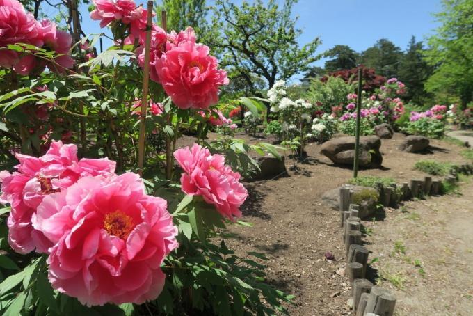 植物園の牡丹