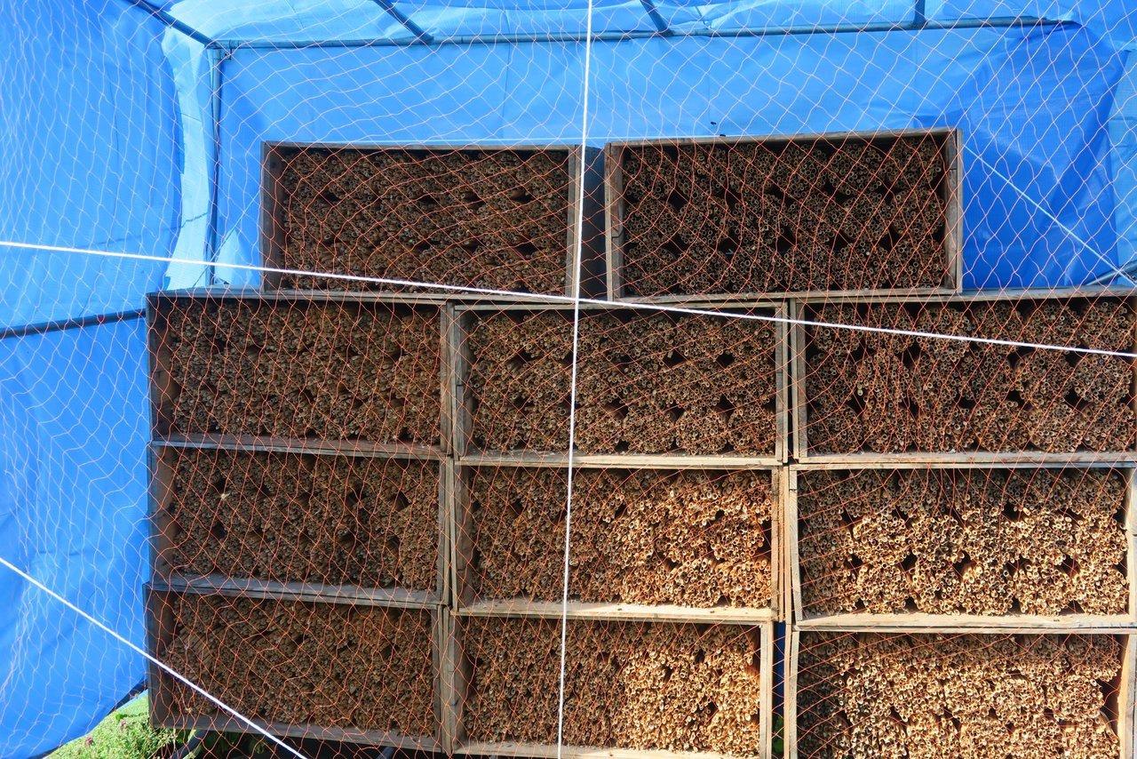 ヨシを切ったマメコバチの巣