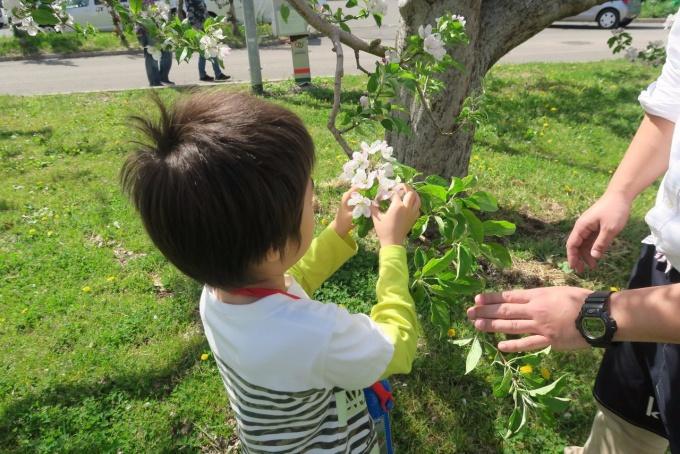 りんごの花を摘花する息子