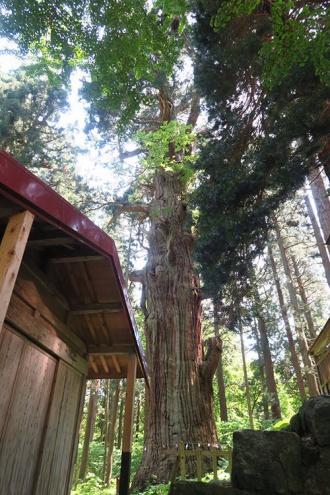 天然記念物の大杉