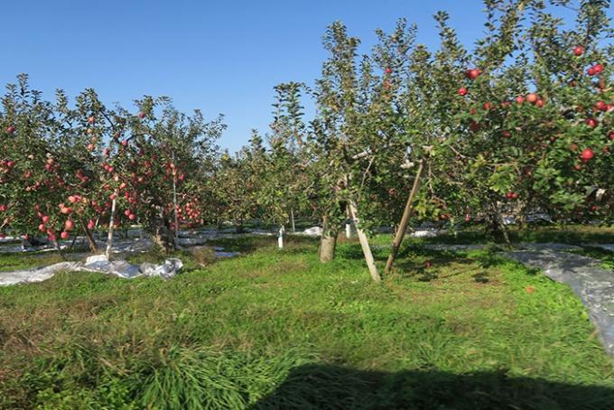 下に反射用シルバーシートを敷いているリンゴ畑