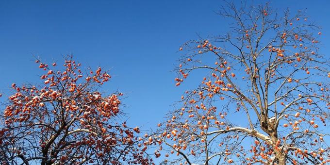 青森の柿は渋柿