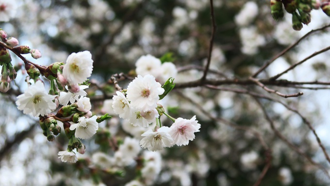 館神跡の子福桜
