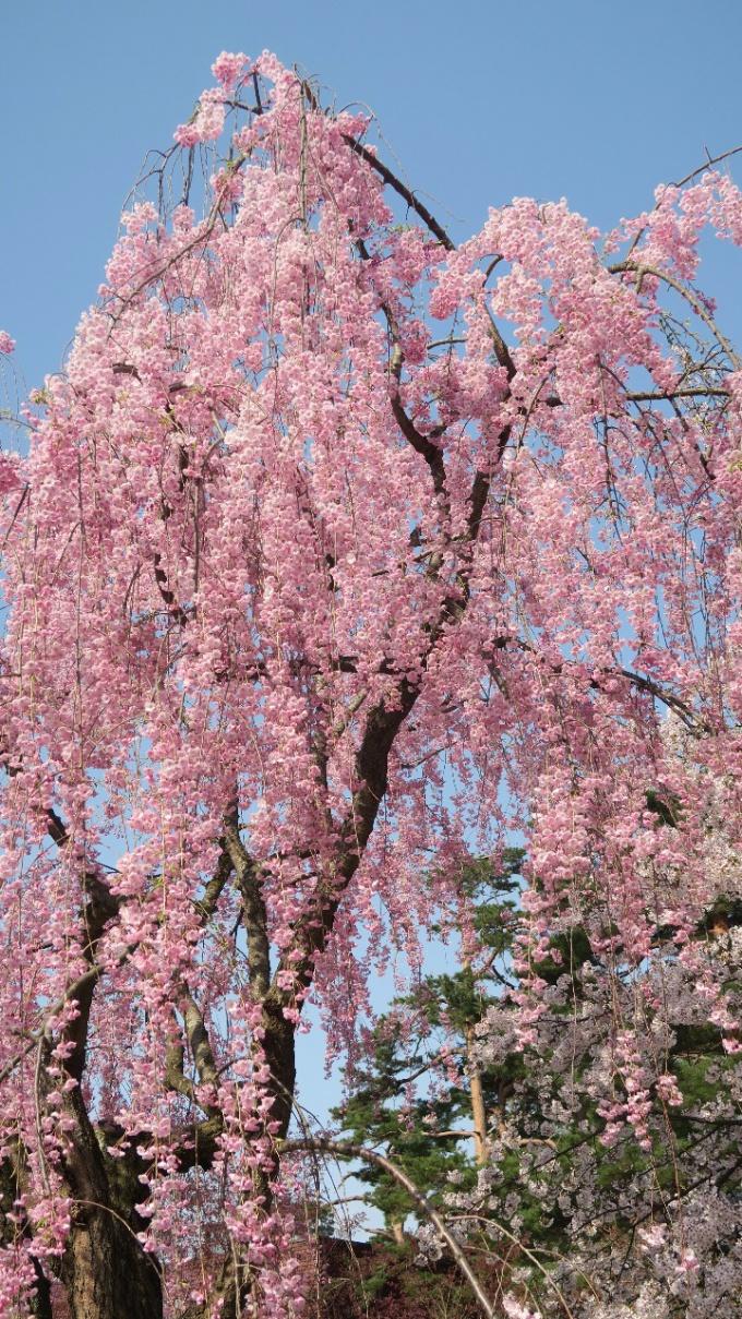 枝垂桜も満開