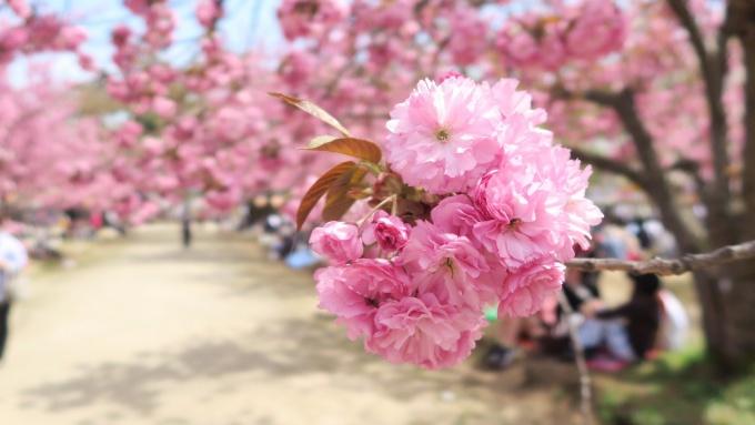 八重桜(関山?)