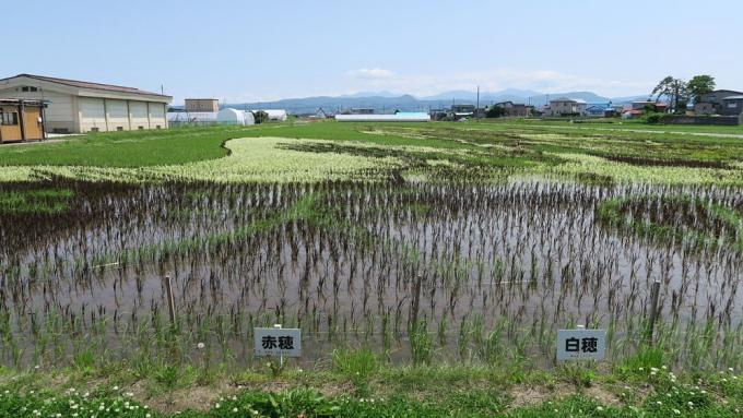古代米など紫、茶、白を表現する稲も