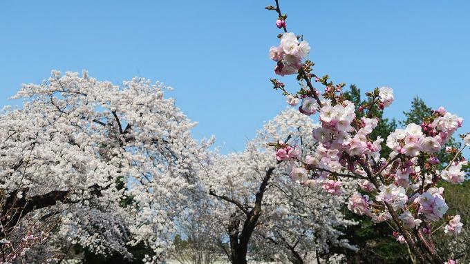 園内の桜は満開