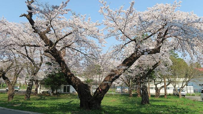 松丘百年桜