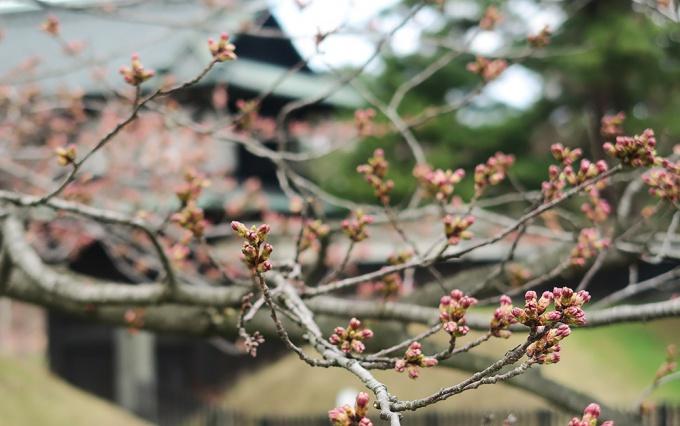 追手門前の桜もつぼみが膨らむ