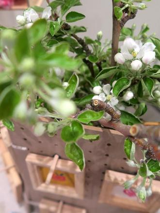 花咲いた王林