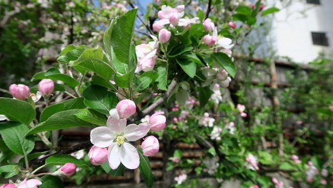 新しい木の方が花が多い