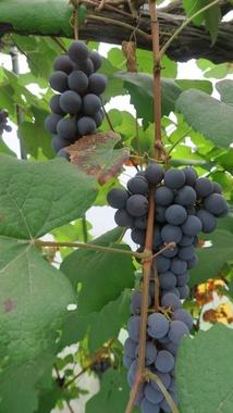 たわわな葡萄