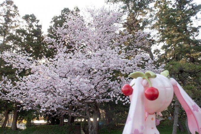 亀甲門近くの満天姫(仮称)