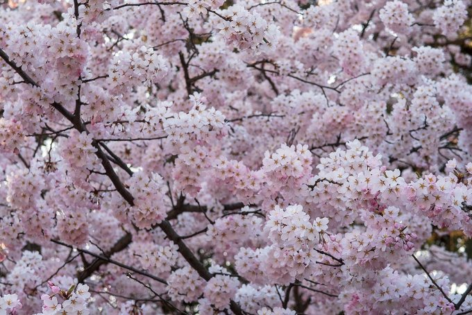モコモコと咲いています