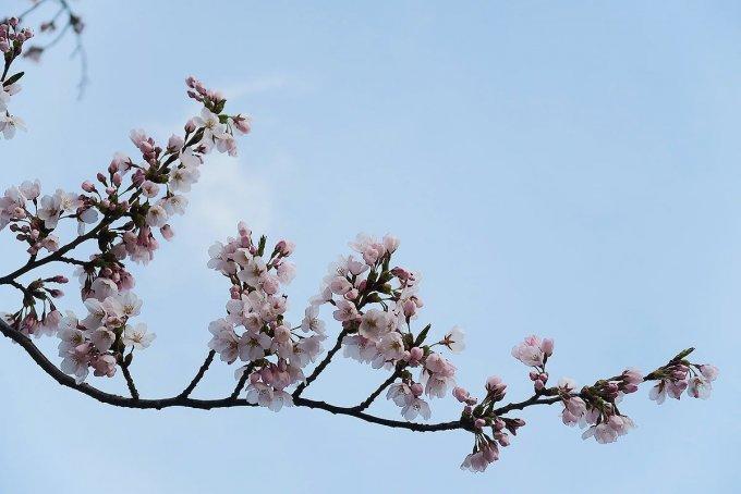 杉の大橋の桜