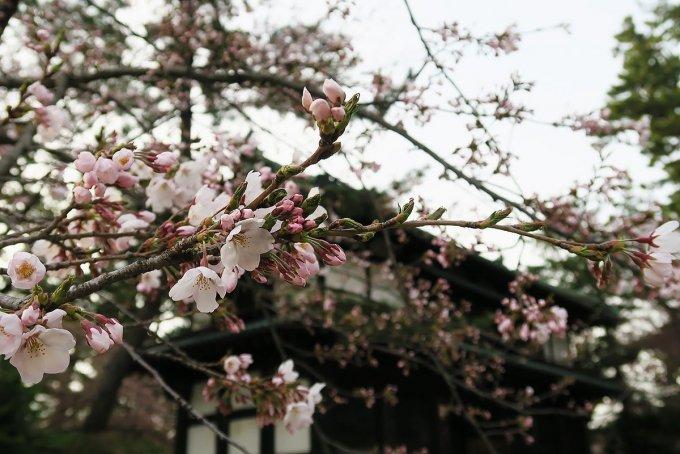南内門前の桜