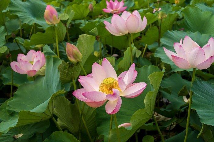 蓮の花をこんなに見るのは初めて
